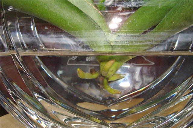 Выращивание фаленопсиса в воде 859
